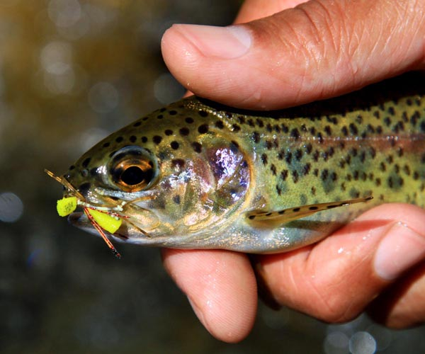 Rainbow_trout_on _d_Herbst_ Hopper