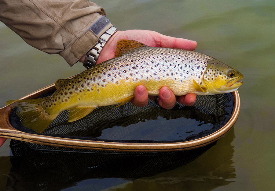 9 Brown trout from Bushmans river