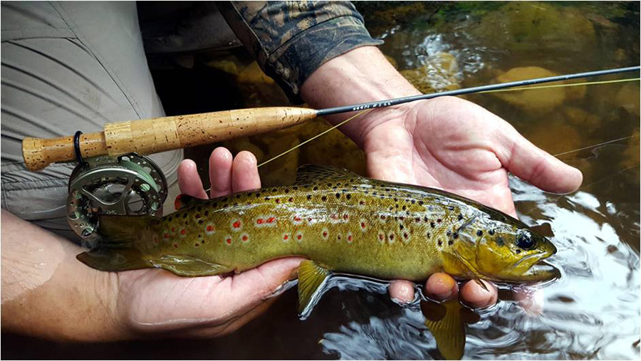 Brown trout Terblanche