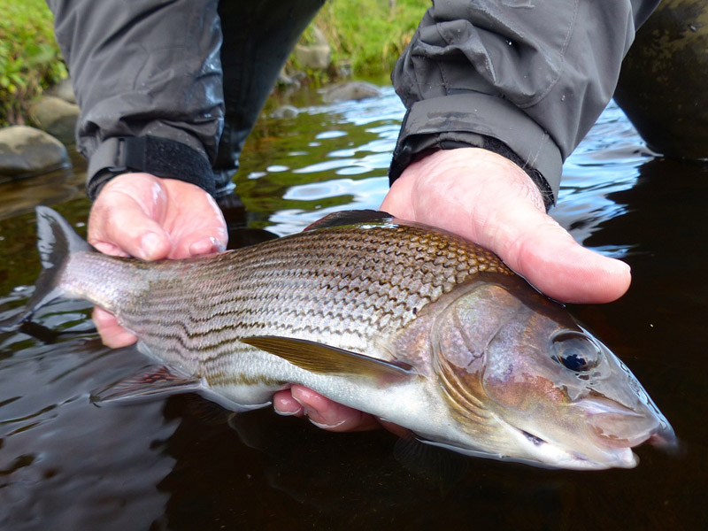 3 grayling blend in 3