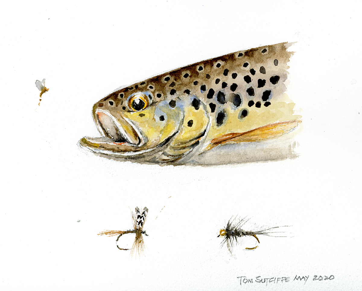 Head 2 leping brown-trout 646