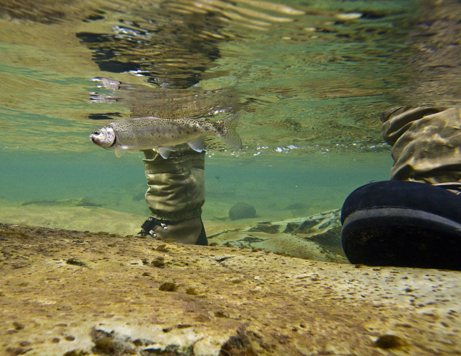 266 Bokspruit River rainbow trout