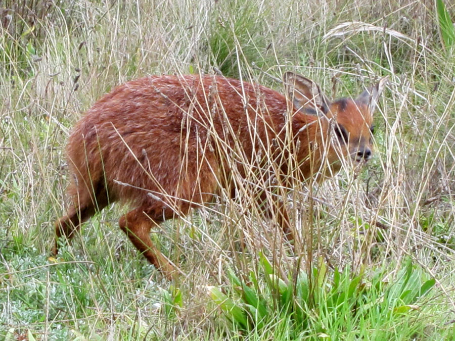 Cape Grysbok saved 11