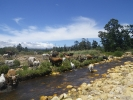 Lourens_River_cattle_IMGP0222