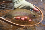 Pretty_Rainbow_trout_IMG_0032