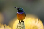 Orange-breasted Sunbird 1