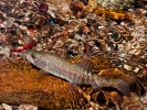 TROUT OVER BRIGHT PEBBLES