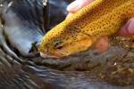 trout 12 (6)