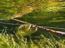 trout 12 (10)