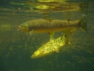 Trout and yellowfish (Phil Hills) (2)