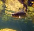 underwater trout (11)