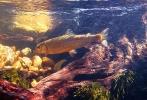 underwater trout (12)