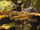 underwater trout (13)
