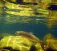underwater trout (16)