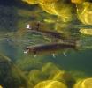 underwater trout (18)