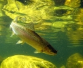 underwater trout (19)