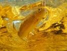 underwater trout (8)