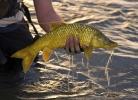 Yellowfish (6)