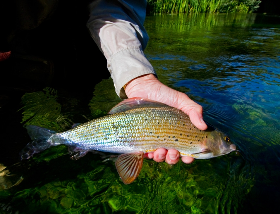 Grayling beauty