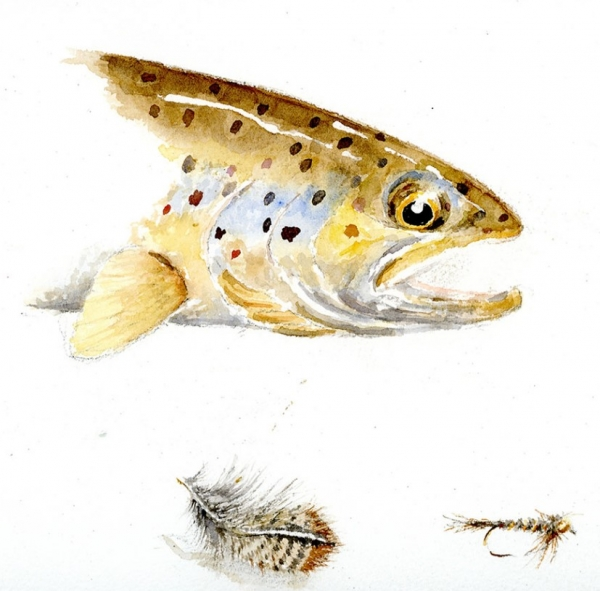 Brown trout 20 x 15 Available