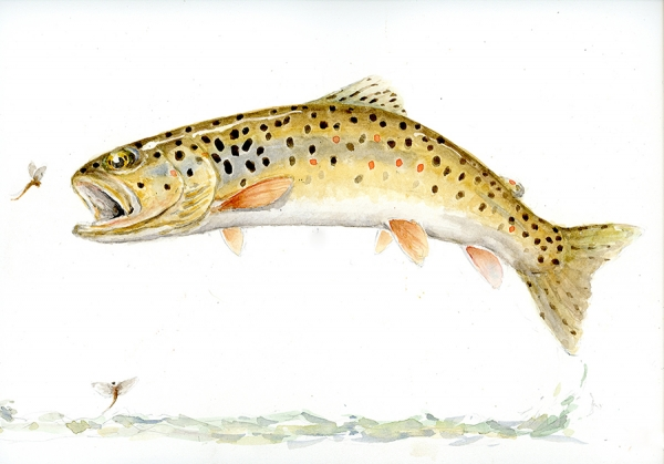Leaping brown trout with mayflies