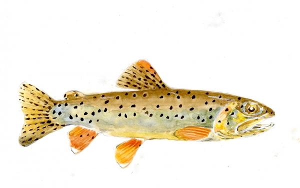 Apache trout 20 x 28 Available