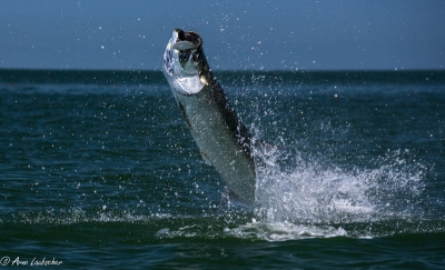 Arno Laubscher takes some dramatic tarpon pictures on a recent trip to Florida