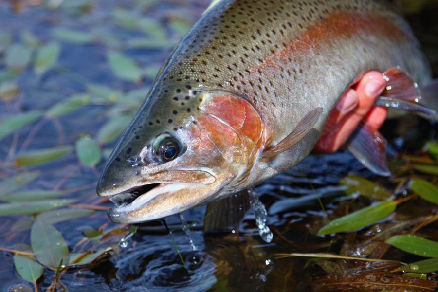 Birkhall rainbow trout