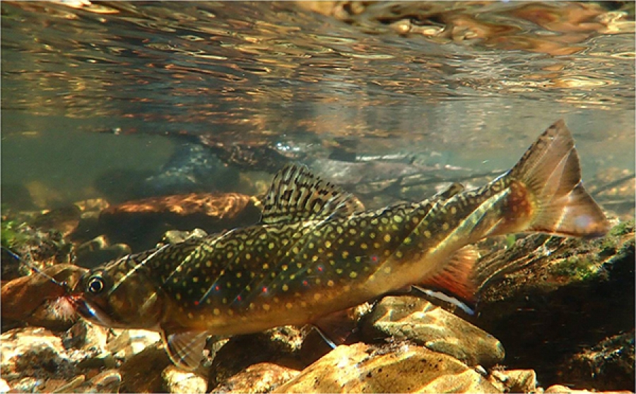 A New South Wales mini-grand slam; rainbow, brook and brown trout from tiny Australian streams