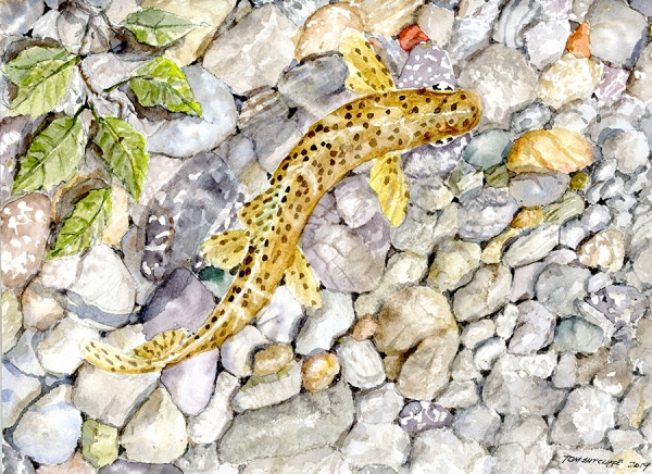 Brown trout over pebbles 23 x 30 Available
