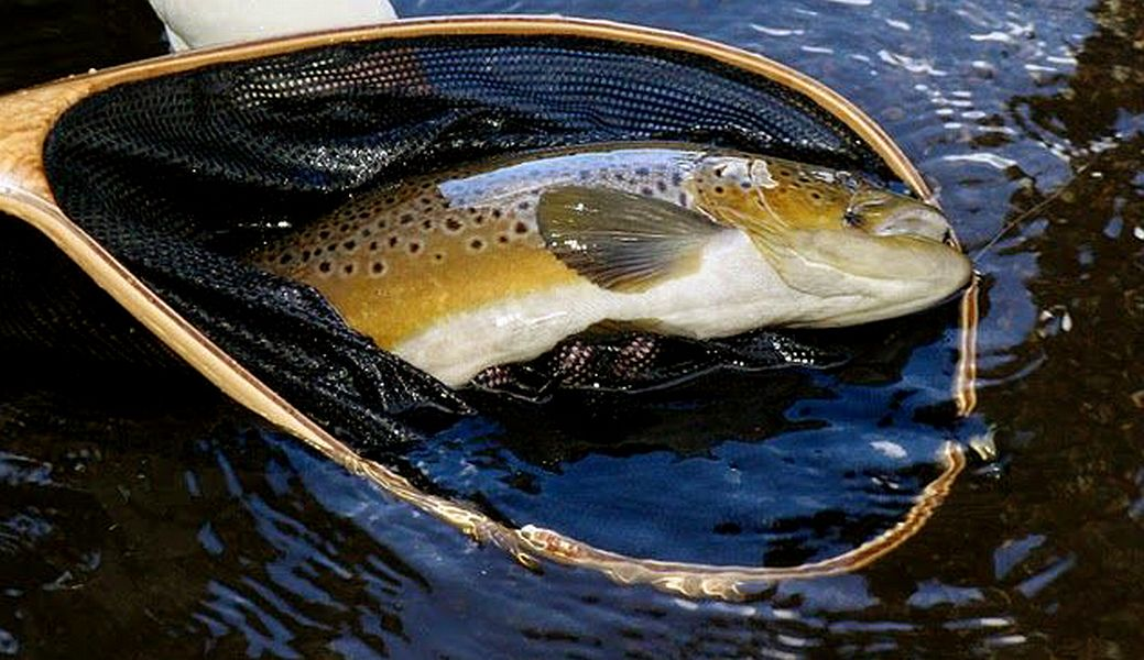 Brown_trout_Lesotho_4