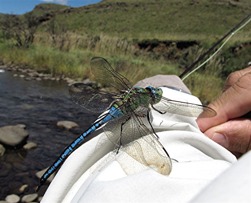 Dragonfly_caught_in_tippet
