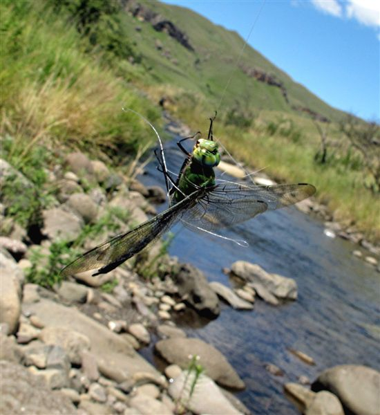 Dragonfly_caught_in_tippet_2
