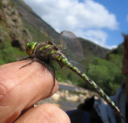 Dragonfly_on_a_dry_fly