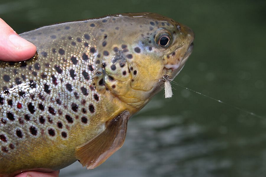 Klinkhamer_Special_catches_a_brown_trout